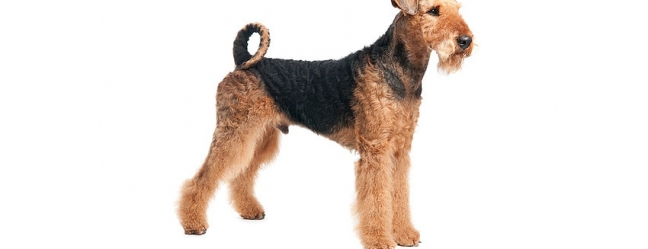 Airedale Terrier 557 X 471